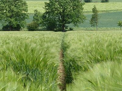 Weg zwischen den Feldern